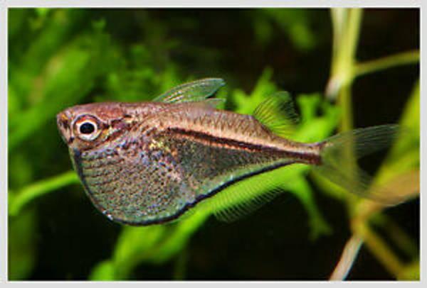 Bilde av Øksefisk Carnegiella marthae