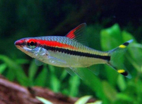 Bilde av Rød Torpedo barbe 5-7cm