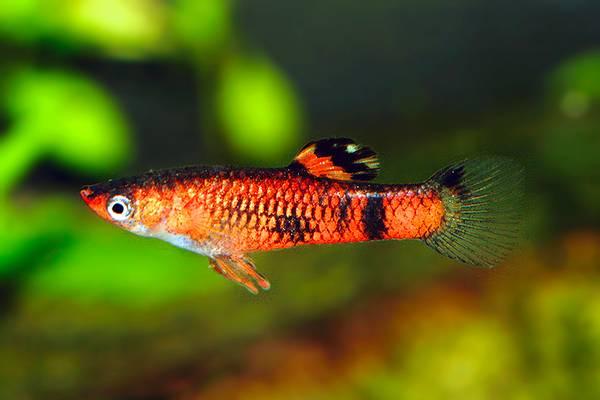 Bilde av Micropoecilia picta