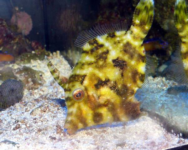 Bilde av Filefish Acreichthys tomentosus