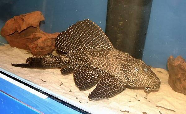 Bilde av Pterygoplichthys gibbiceps 30-35cm